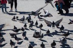 Pigeons on stone pavement Royalty Free Stock Photo
