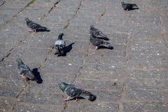 Pigeons on stone pavement Stock Photos