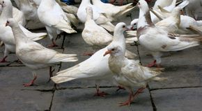 Pigeons on Stone Pavement. A group of white pigeons on stone pavement royalty free stock photography