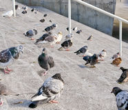 Pigeons. On stone steps Stock Photography