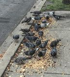 Pigeons on the street. Eating Cereal on a Sunday Morning royalty free stock images