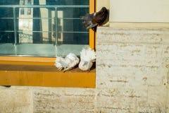 The pigeons on the street. Pigeons on the street, freen royalty free stock photos