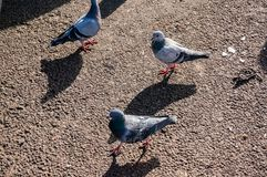 Pigeons on street. Pigeons on a street with harsh sunlight and sharp shadows royalty free stock photos