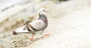 Pigeons on the street isolated. Pigeons on the street - small bird isolated on pavement stock photos
