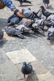 Pigeons on the street in Mumbai Royalty Free Stock Photography