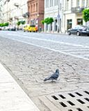 Pigeons on the street royalty free stock photos