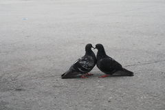 The pigeons on the street. Royalty Free Stock Photography
