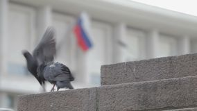 Pigeons on the street run. Pigeons on the street. Backgraund russian flag stock video