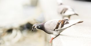 Pigeons on the street isolated. Pigeons on the street - small bird isolated on pavement stock photography