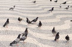 Pigeons in the streets. Stock Image