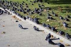 Pigeons sunbathe in the sun stock images