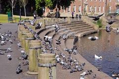 Pigeons sur des étapes de Derwent de rivière, Derby Photographie stock