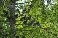 Pigeons sur des fils Photographie stock libre de droits