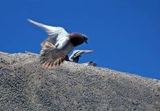Pigeons sur des murs du Koules Photo stock