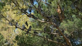 Pigeons sur l'arbre d'automne banque de vidéos