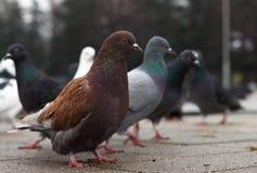 Pigeons sur l'asphalte en parc pendant l'automne froid photographie stock