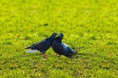 Pigeons sur l'herbe verte, amour de pigeon Photos libres de droits