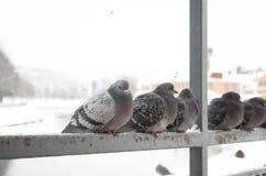 Pigeons sur la balustrade par une rivière Photo libre de droits