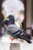 Pigeons sur la fontaine Photo libre de droits