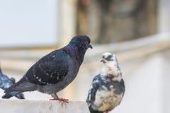 Pigeons sur la fontaine de marbre photos libres de droits