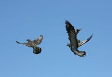 Pigeons sur la nature Photos stock