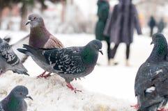 Pigeons sur la neige blanche dans la ville Photos libres de droits