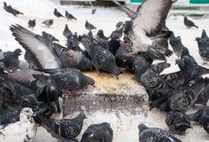 Pigeons sur la neige blanche en portrait de ville Photos libres de droits