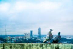 Pigeons sur le dessus de toit photographie stock
