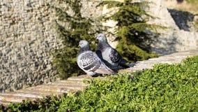 Pigeons sur le mur Images libres de droits
