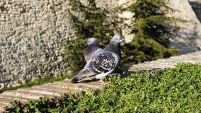 Pigeons sur le mur Photographie stock