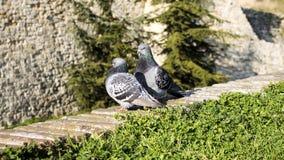 Pigeons sur le mur Photo libre de droits