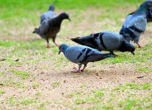 Pigeons sur le papier peint de fond d'herbe verte Photo stock