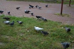 Pigeons sur le terrain de jeu, jour d'automne photos stock
