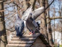 Pigeons sur le toit Photos libres de droits
