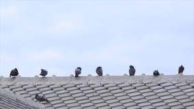 Pigeons sur le toit clips vidéos