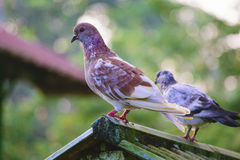 Pigeons sur le toit Images libres de droits