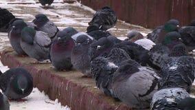 Pigeons sur le trottoir banque de vidéos