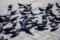 Pigeons sur le trottoir en pierre Images stock