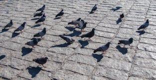 Pigeons sur le trottoir en pierre Image libre de droits