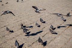 Pigeons sur le trottoir en pierre Image stock