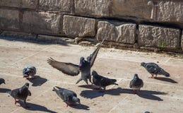 Pigeons sur le trottoir en pierre Photos stock