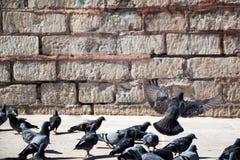 Pigeons sur le trottoir en pierre Images libres de droits