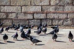 Pigeons sur le trottoir en pierre Photographie stock libre de droits