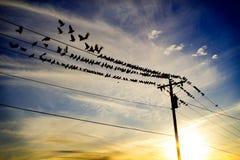 Pigeons sur un fil au crépuscule Photographie stock