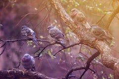 Pigeons sur une branche d'arbre Photographie stock