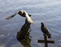 Pigeons swim in the pond in the Park. Time of spring and love stock image