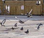 Pigeons taking flight in parking lot. royalty free stock photo