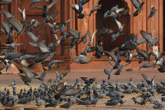 Pigeons taking off Stock Images