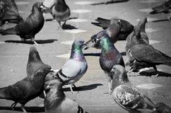 Pigeons Talking Stock Image