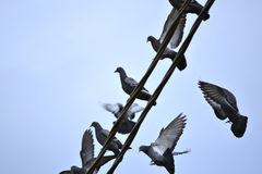 Pigeons on a telephone line Royalty Free Stock Photo